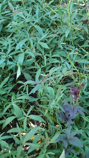 English: Ipomoea batatas (Sweet Potato)