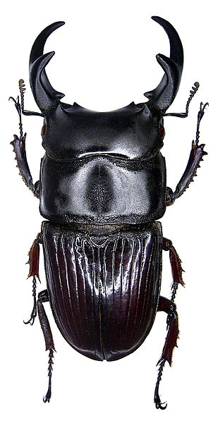 File:Aegus parallelus (Hope & Westwood, 1845) male (3576467988).jpg