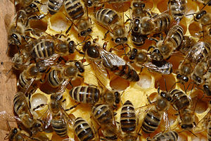 The queen bee in a hive.