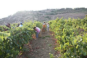 Wine grape harvest in the Italian wine region ...