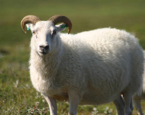 An Icelandic sheep