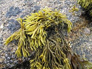 TomCorser Seaweed 3