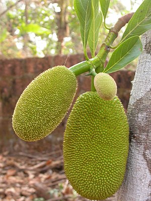 English: Young Jackfruit