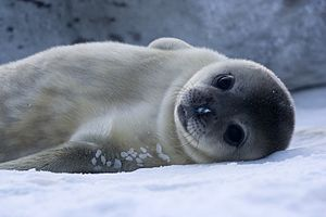 Baby Weddell Seal in Adélie Land, Antarctica