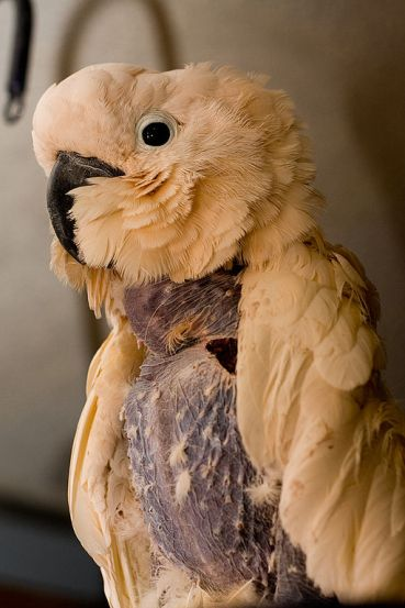 Cacatua moluccensis -feather plucked pet in Canada-8a