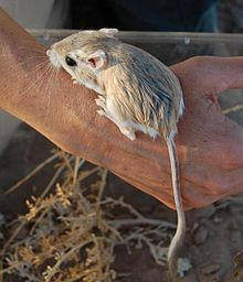 Merriams Kangaroo Rat Wikipedia