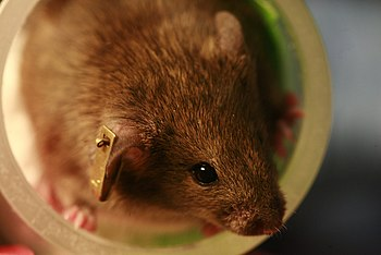 English: Laboratory mouse