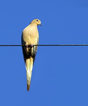 English: Mourning Dove on a wire. Uploaded by ...