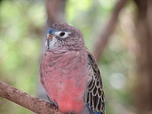 A male Bourke's Parrot at the Flying High Bird...