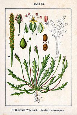 Plantago coronopus Sturm64