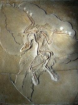 Archaeopteryx lithographica'nın ünlü Berlin numunesi