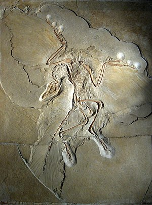 English: Archaeopteryx lithographica, specimen...