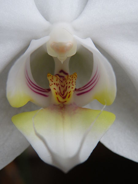 File:Closeup of the blossom of a Phalaenopsis.jpg