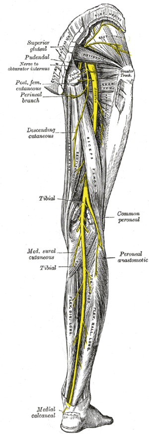Nerves of right leg, anterior and posterior as...