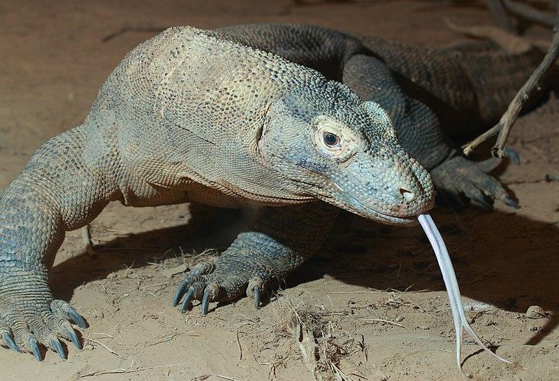 File:Komodo dragon with tongue.jpg