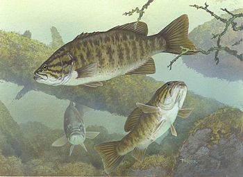 English: Smallmouth bass (Micropterus dolomieu...