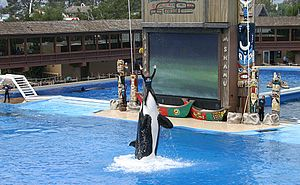 Shamu at SeaWorld Orlando lifting a trainer ou...