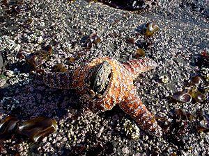 Sea star Pisaster ochraceus consuming a mussel...