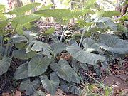 Xanthosoma roseum