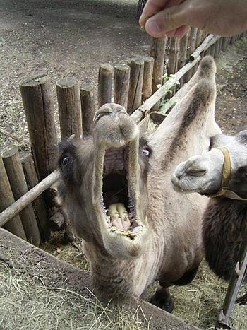 A camel in the zoo Français : Un chameau dans ...