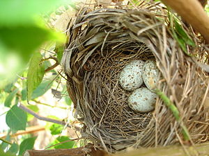 English: Photograph of Northern Cardinal Eggs ...