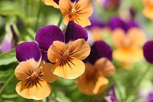 Orange and violet pansies