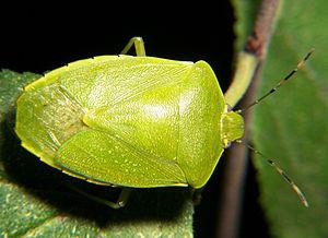 Adult stink bug, Acrosternum hilare