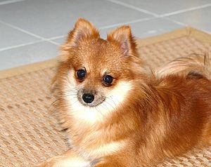 This is our pomerania his name is Romeo and he...