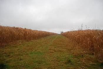 English: Strip between two areas of Biofuel crop