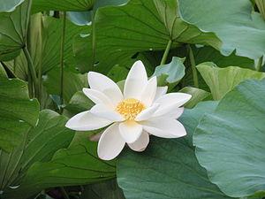 English: A white lotus flower in Zhizuyuan Par...