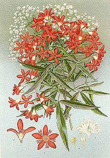 Ceratopetalum Gummiferum Wikipedia
