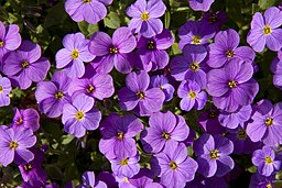 List Of Flower Names A To Z With Pictures  Common And Easy To Grow     Mauve Flowers  4541324498