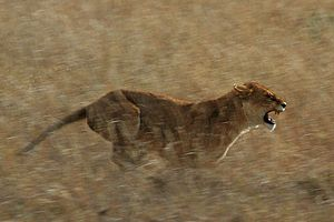 a lioness hunting worthogs in the western corr...