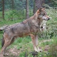 Der Wolf / Unterschiede zum Haushund