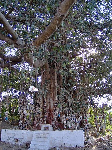 arbre à voeux - Inde - banians