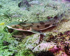 https://i1.wp.com/upload.wikimedia.org/wikipedia/commons/thumb/a/a0/Carpetshark.jpg/240px-Carpetshark.jpg