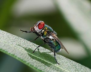 A blow fly (Female Chrysomya albiceps)