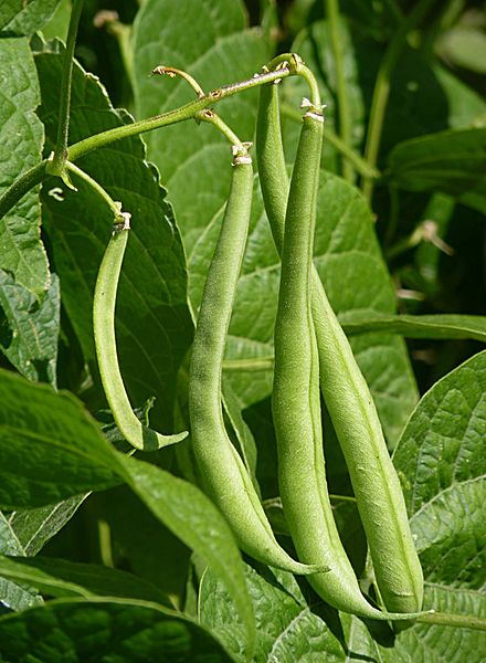 File:French beans J1.JPG