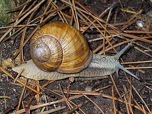 Helix pomatia, Helicidae, Burgundy Snail, Roma...
