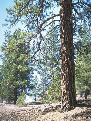 English: Old growth Ponderosa pines in Lost Fo...