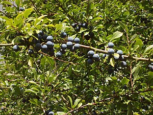 English: Sloes on a blackthorn hedge, near Tha...