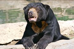 Sun Bear 7.jpg