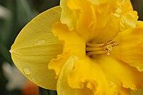 Picture of a {{MultiLink Daffodil}} ({{BioLink...