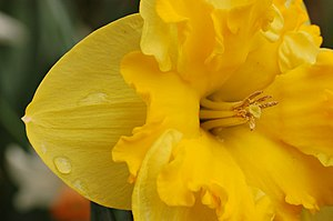 A daffodil closeup showing the various parts o...