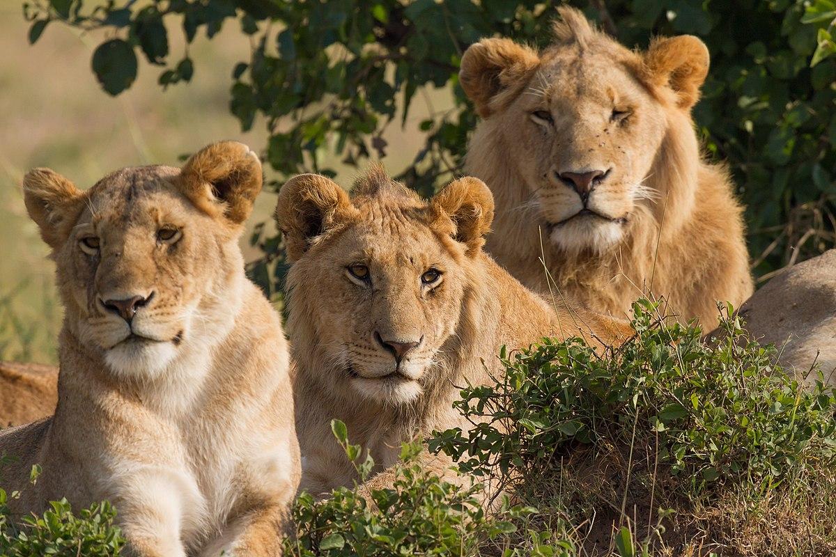 File:Lions Family Portrait Masai Mara.jpg