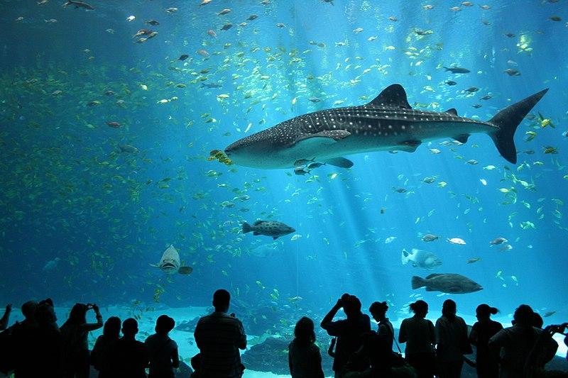 File:Male whale shark at Georgia Aquarium.jpg