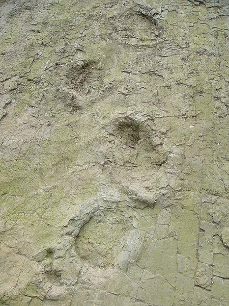 File:Sauropodtrack-barkhausen.jpg