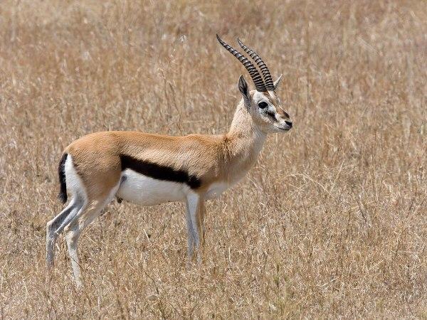 Thomson's gazelle - Simple English Wikipedia, the free ...