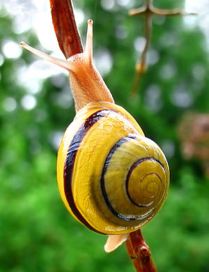 English: The white-lipped snail (Cepaea horten...