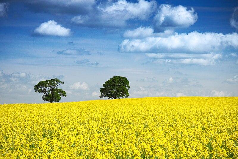 File:Zwei Bäume im Rapsfeld, blauer Himmel.jpg